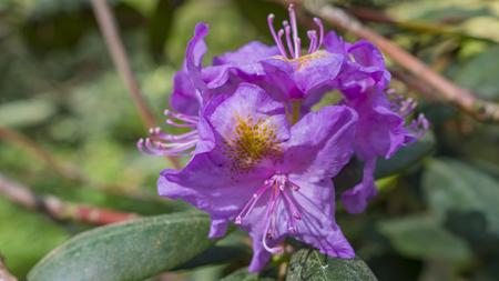 Blooming beautiful Purple rhododendrons in the garden. Macro