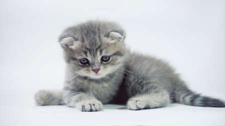 Funny little gray fold scottish kitten kitty playing on a white background. Stok Fotoğraf