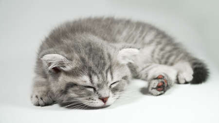 Funny little gray fold scottish kitten kitty sleeping on a white background.