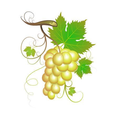 cluster: White grapes with green leaves Illustration