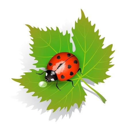 macro leaf: Vector illustration of a ladybug on leaf
