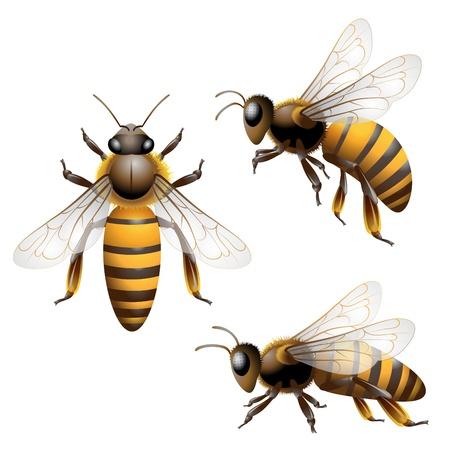 abeja: Abeja aislado en blanco