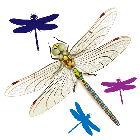 ordinate: Dragonfly on a white background