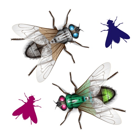 hum: Housefly isolated on white background