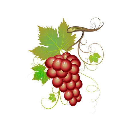 Purple grapes with green leaves Vector