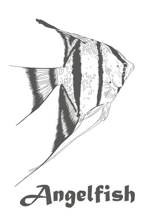 Hand drawn sketch of Angel fish, Pterophyllum species originate from the Amazon River. Colorless vector illustration isolated on white with text. Illustration