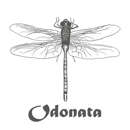 odonata: odonata illustration vector hand draw doodles of black dragonfly isolated on white background. sketch isoloated on white with text