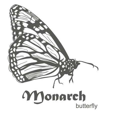 The Monarch butterfly Danaus plexippus vector illustration isolated on white. Hand drawn sketch with text side view Illustration