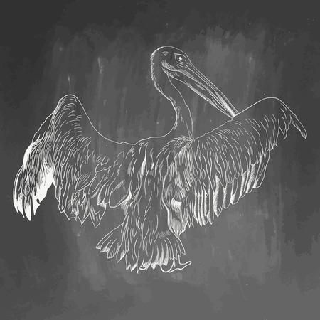 Pelican icon. Hand drawn vector illustration isolated on chalkboard background. White realistic sketch on blackboard and chalkboard imitation. Ilustração