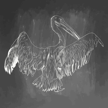 Pelican icon. Hand drawn vector illustration isolated on chalkboard background. White realistic sketch on blackboard and chalkboard imitation. Illustration