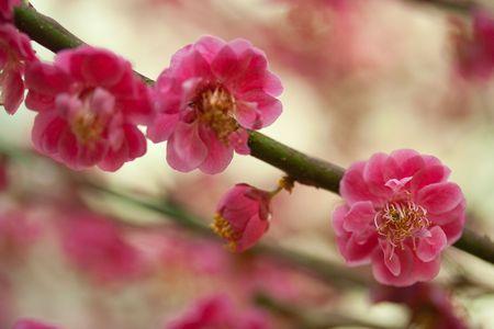 Cherry Blossom Stock Photo - 6653636