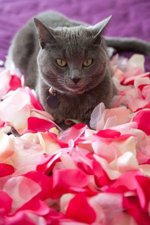 gray cat: A cat lying on a bed of petals.