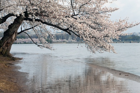cherry tree: Cherry Blossom Festival in Washington DC. Stock Photo