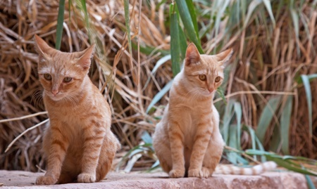 Two orange wild cats