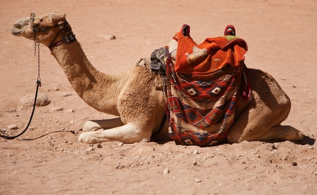 petra  jordan: A camel in Petra, Jordan  Stock Photo