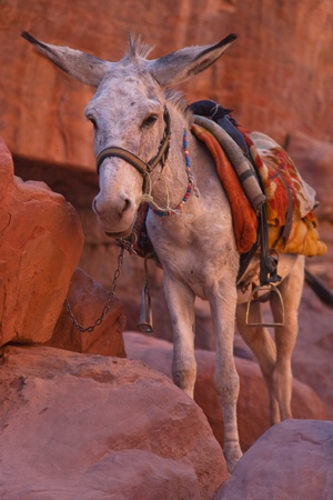 A donkey in Petra, Jordan  photo