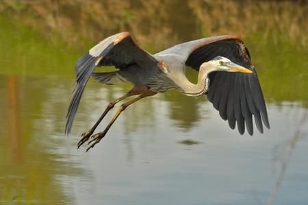 herons: Great Blue Heron Flying Across Lake