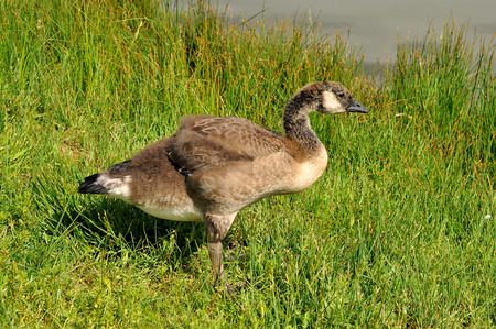 gosling: Canada Goose Gosling about a month old