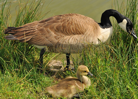 Canada Goose with gosling in grass by lake photo