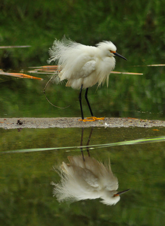disarray: Snowy egret with feathers in disarray Stock Photo