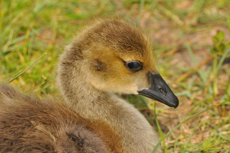 canada goose: Canada Goose Gosling portrait Stock Photo