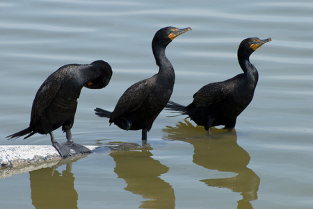 cormorants: Doublecrested cormorants perched on pipe