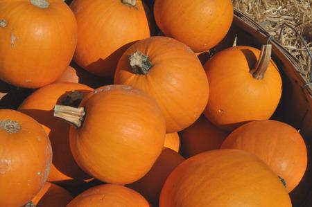 bushel: Sugar pumpkins in bushel