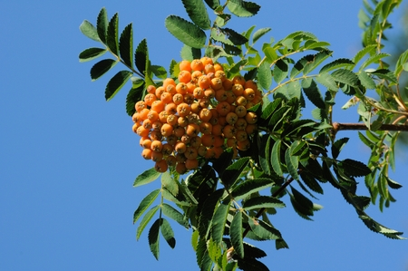 Mountain ash Rowan tree berries on branch