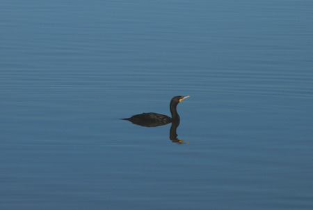 Doublecrested cormorant swimming on lake