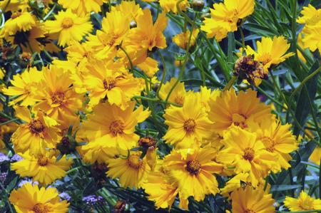 tickseed: Yellow Coreopsis tickseed flowers Stock Photo