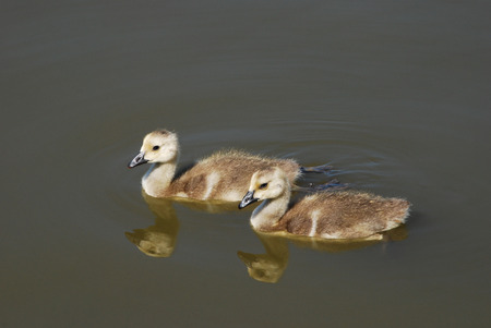 canada goose: Two Canada Goose goslings swimming on lake
