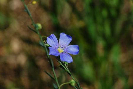 linum: Lewis Blue Flax Linum lewisii flower