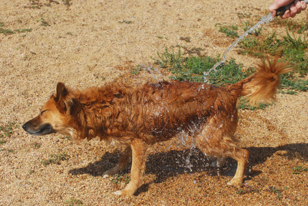 shake off: Dog Days of summer: watering down dog from hose Stock Photo