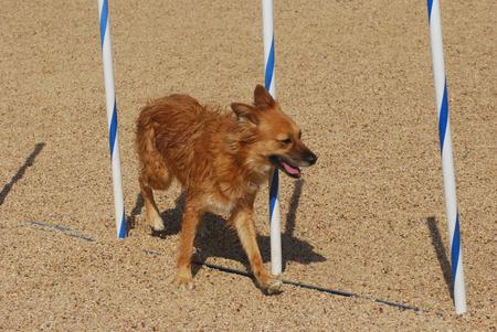 Dog agility: dog running through weave poles