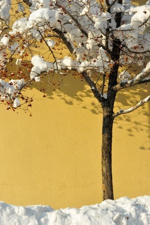 mountain ash: Urban mountain ash tree covered in snow
