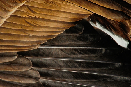 canada goose: Close up of Canada Goose feathers