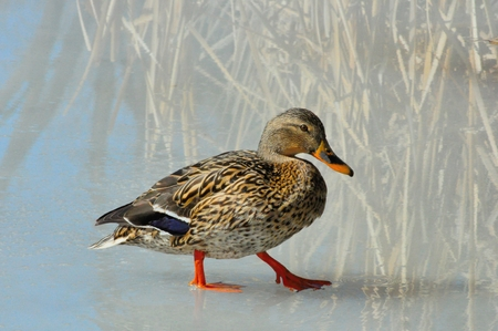 ice covered: Mallard Hen walking on ice covered lake Stock Photo