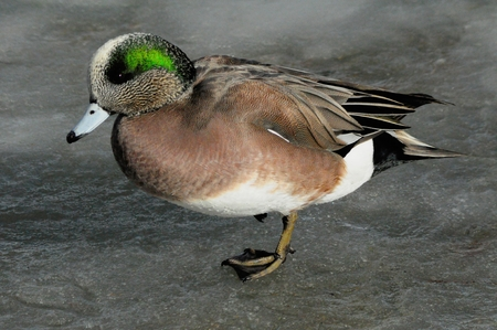 drake: American Wigeon duck drake