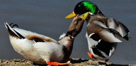 drakes: Mallard duck drakes in territory squabble