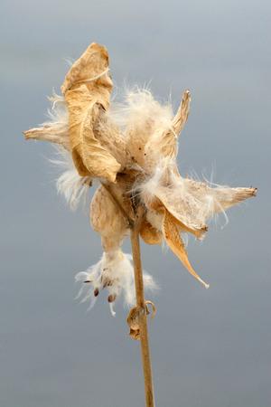 Winter milkweed Stok Fotoğraf