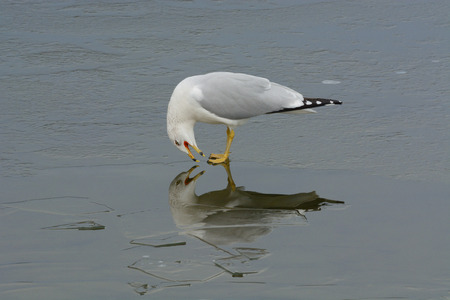 shrieking: Ring-billed gull screaming at reflection