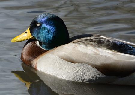 drake: Mallard duck drake skeeping