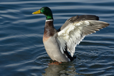Mallard duck drake spreading wings Stock Photo
