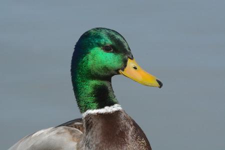 drake: Portrait of Mallard duck drake Stock Photo