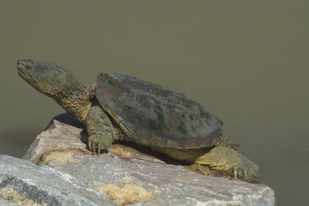 Large snapping turtle sunbathing on rock