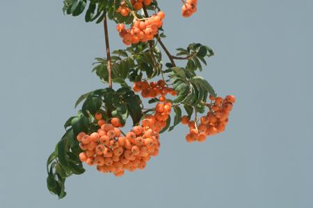 山灰ナナカマドの果実 写真素材
