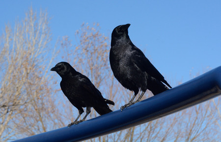 railing: Two American Crows perched on blue railing