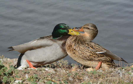 battle of the sexes: Squabble between male and female mallard ducks on edge of lake