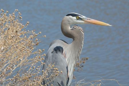 herodias: Close up Great Blue Heron (Ardea herodias) watching over lake for fish Stock Photo