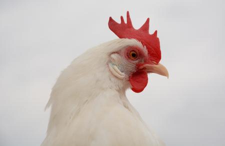 bantam hen: White bantam leghorn chicken hen against white cloudy sky